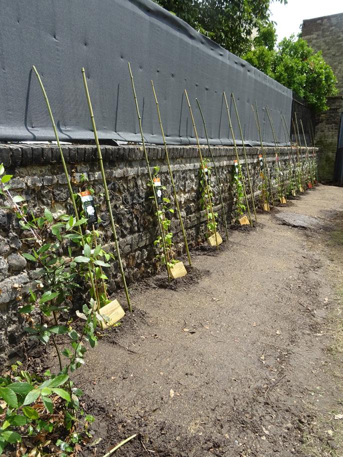 Plantation plantes grimpantes